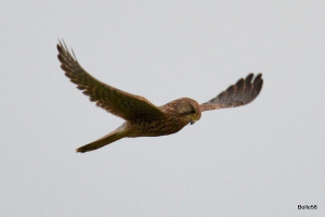 Female Kestrel hovering at margin of the reservoir